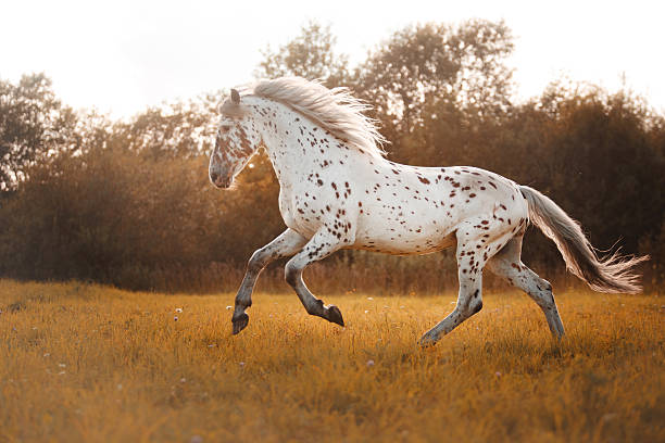 White spotted horse White horse walking on a sunny day appaloosa stock pictures, royalty-free photos & images