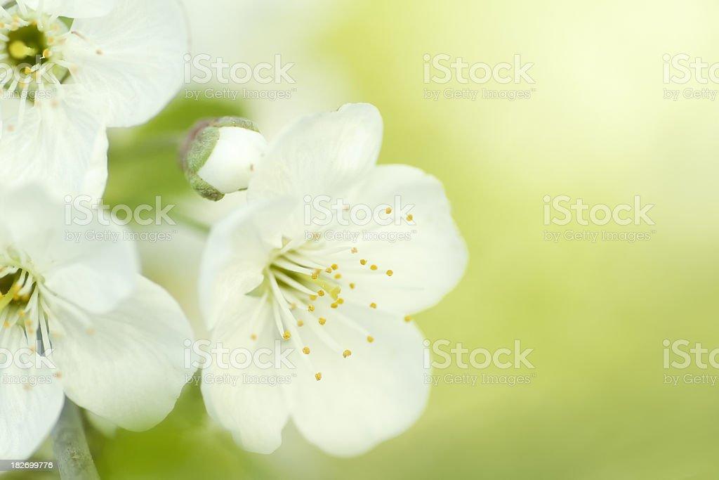 White spring blossom royalty-free stock photo