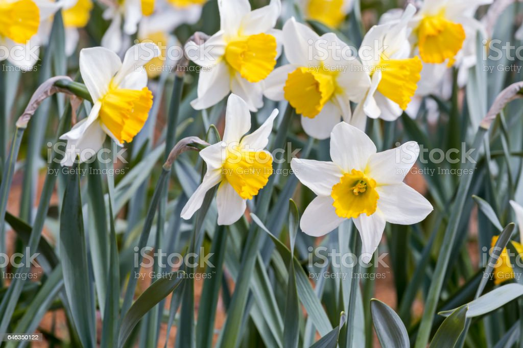 white spring daffodil flowers blooming in spring time stock photo