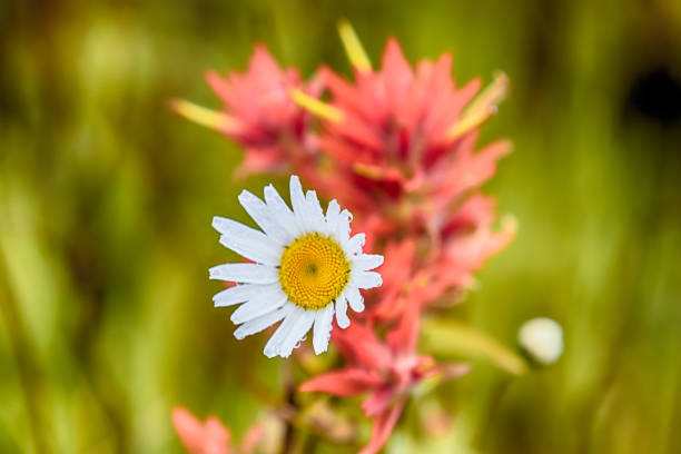 White spring daisy with Indian Paintbrush stock photo