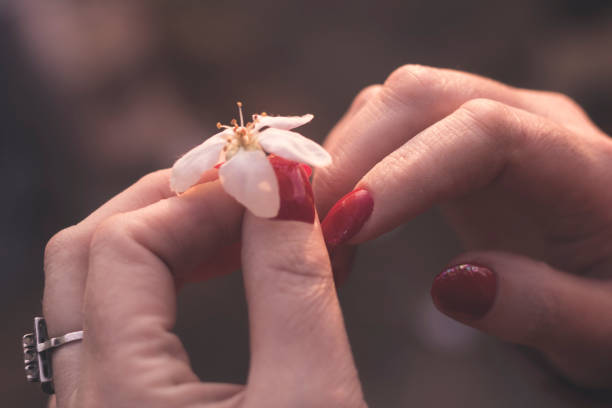 White spring flower from a tree in female beautiful hands with a red manicure on nails. Natural beauty stock photo