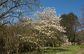 Magnolia stellata is a Slow Growing Tree os Shrub and Native to Japan