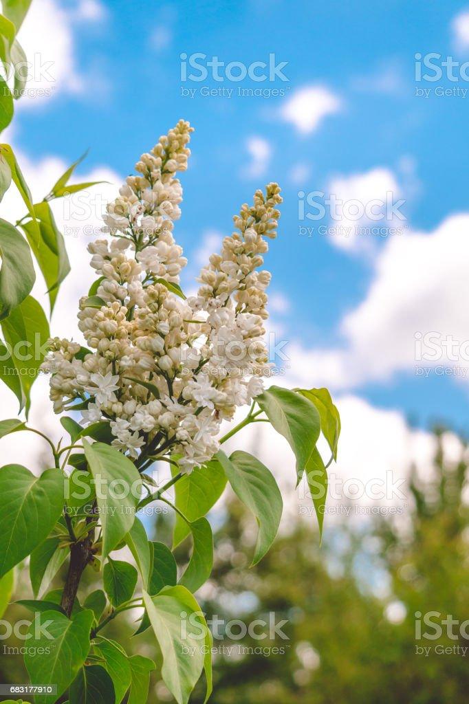 봄 라일락 화이트와 푸른 하늘 royalty-free 스톡 사진