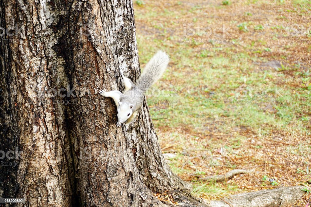White squirrel climbing down a tree. small furry animal stock photo