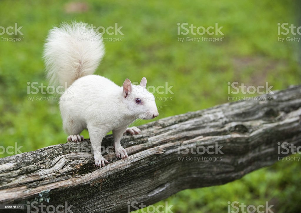 White squirrel stock photo