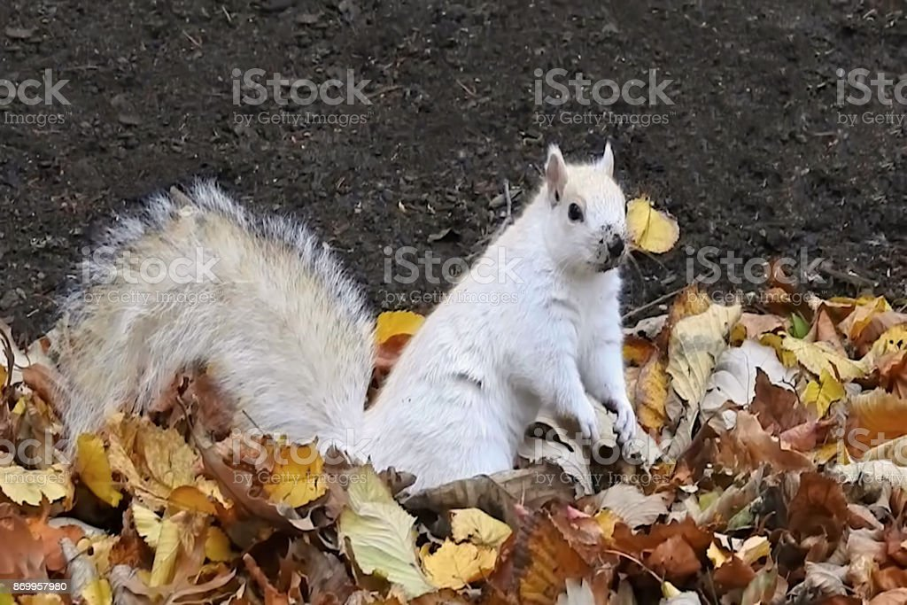 White Squirrel Playing stock photo