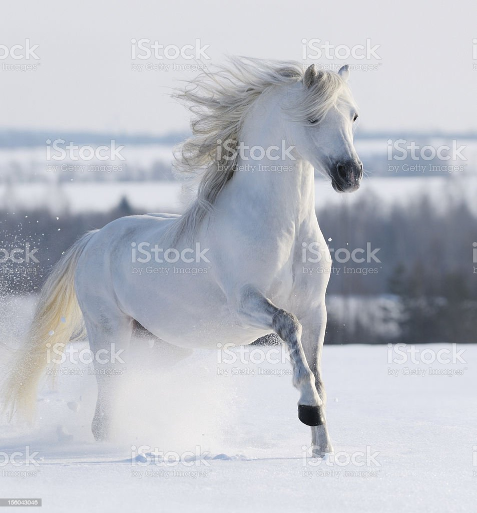 White stallion galloping stock photo