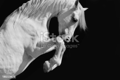 A white Andalusian stallion in the sun against a black background.Selective focus and some motion blur and grain.Please see similar pictures from my portfolio: