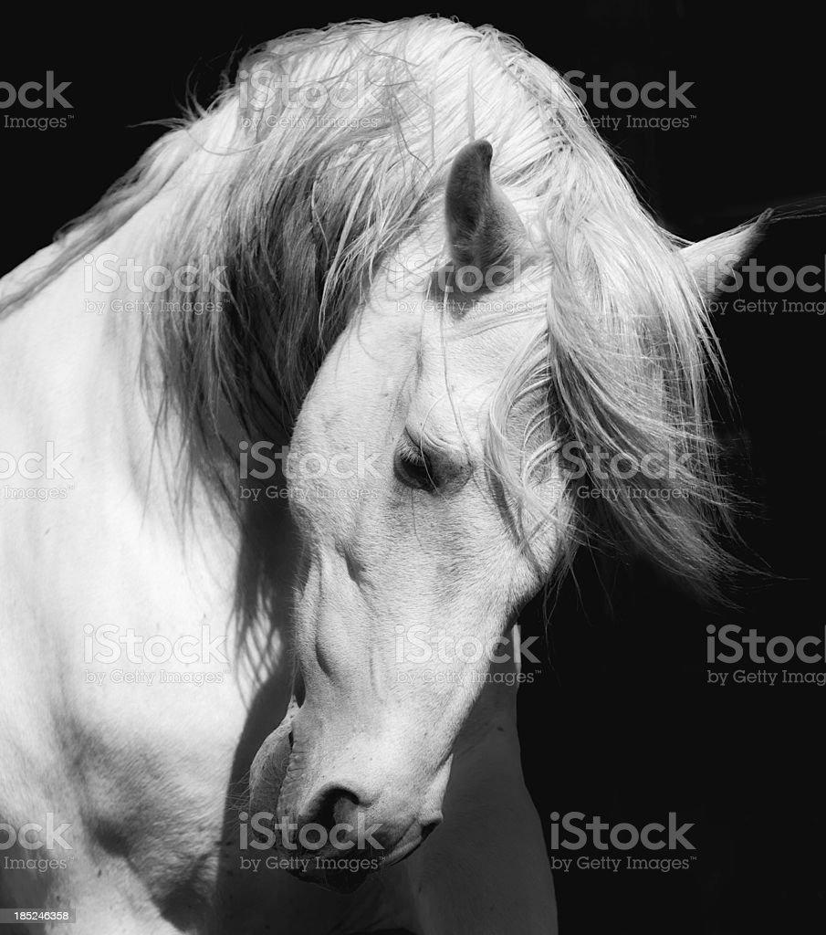 White Stallion Horse Andalusian BW Dressage stock photo