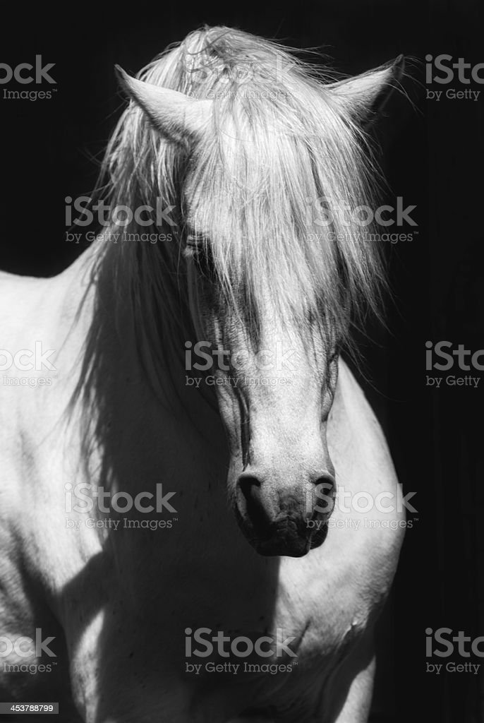 White Stallion Horse Andalusian BW Dressage royalty-free stock photo