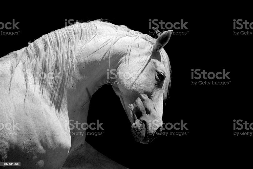 White Stallion Horse Andalusian BW  Andalusia Stock Photo