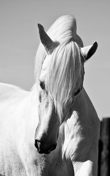 White Stallion Horse Andalusian BW stock photo