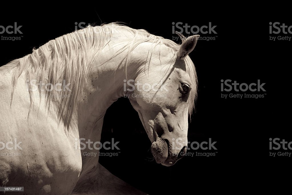 White Stallion Horse Andalusian royalty-free stock photo