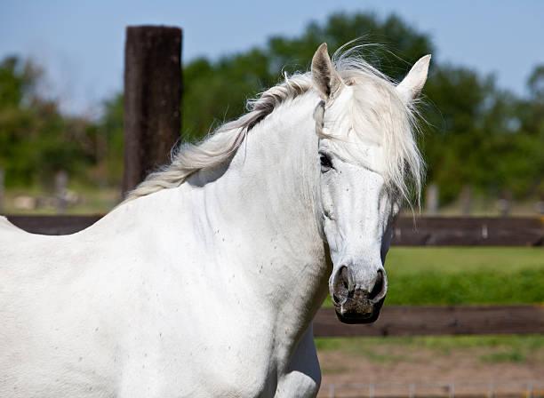 White Stallion Horse Andalusian stock photo