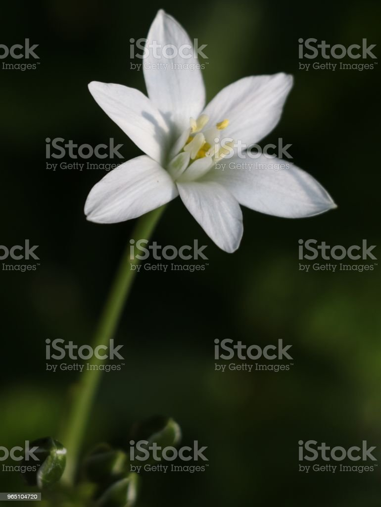 white star royalty-free stock photo