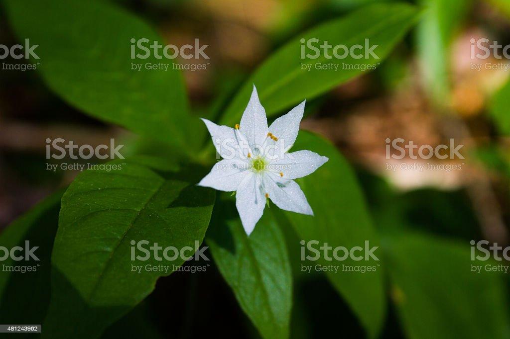 White Starflower stock photo