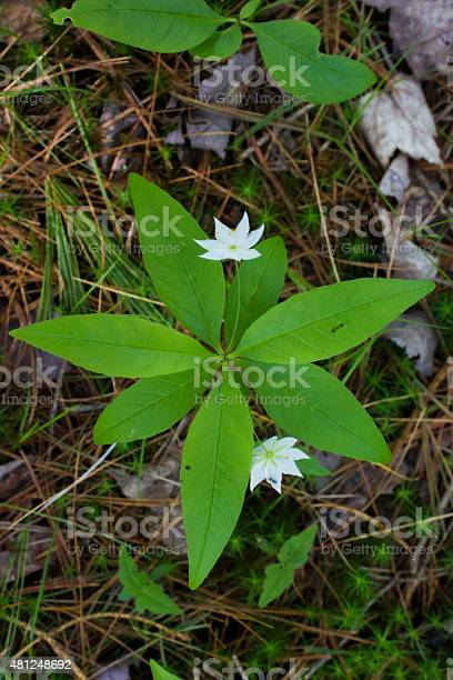 White Starflower Stock Photo - Download Image Now