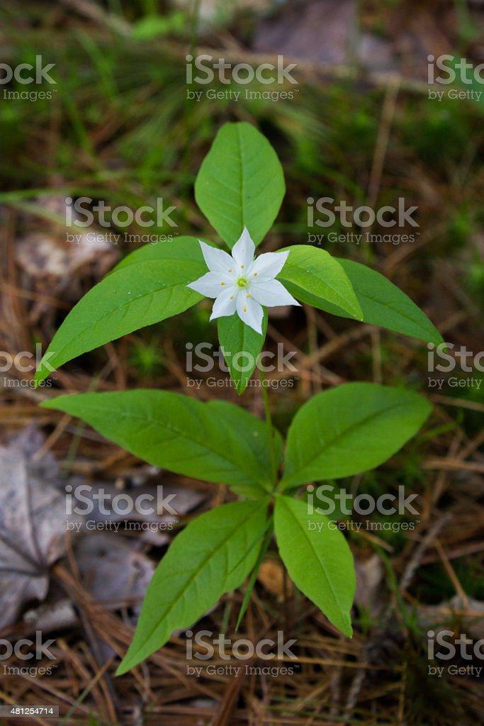 White Starflower - Royalty-free 2015 Stock Photo