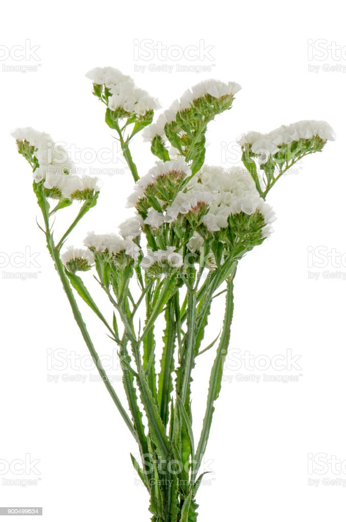 White statice flowers stock photo more pictures of arrangement white statice flowers royalty free stock photo mightylinksfo