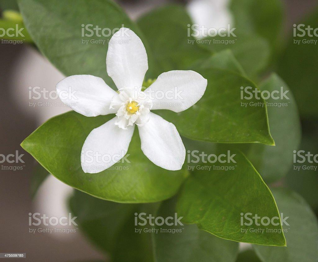 White stephan otis flower in garden. stock photo