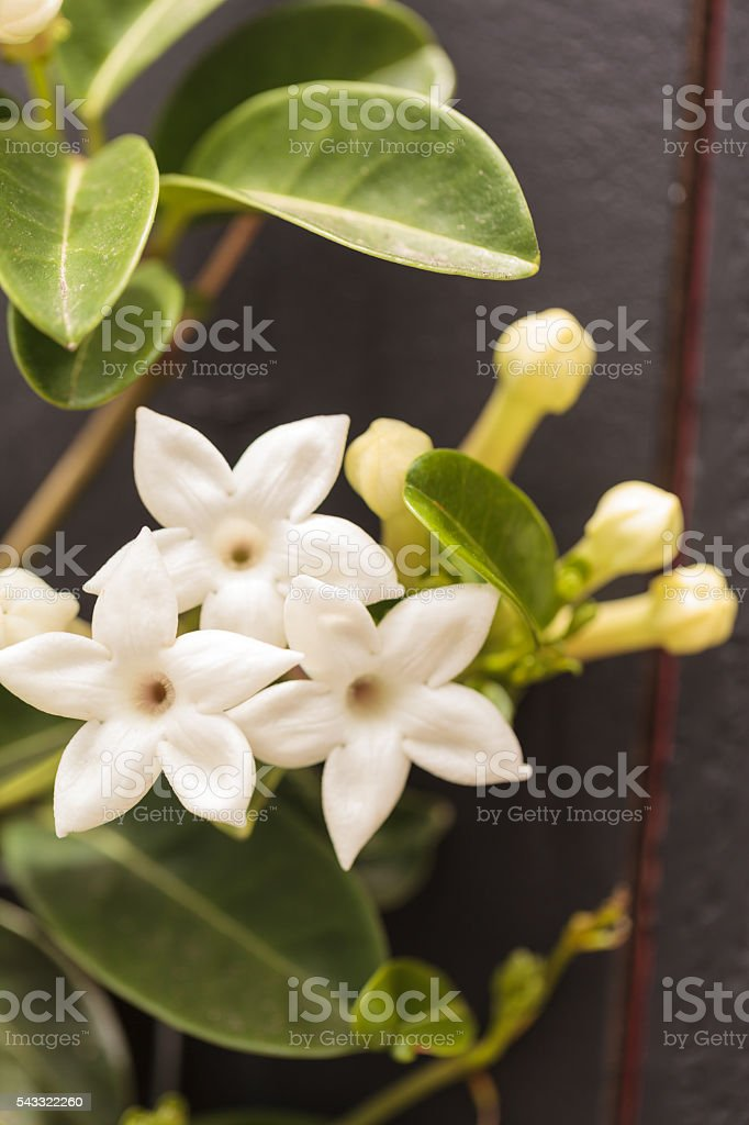 White Stephanotis flower stock photo