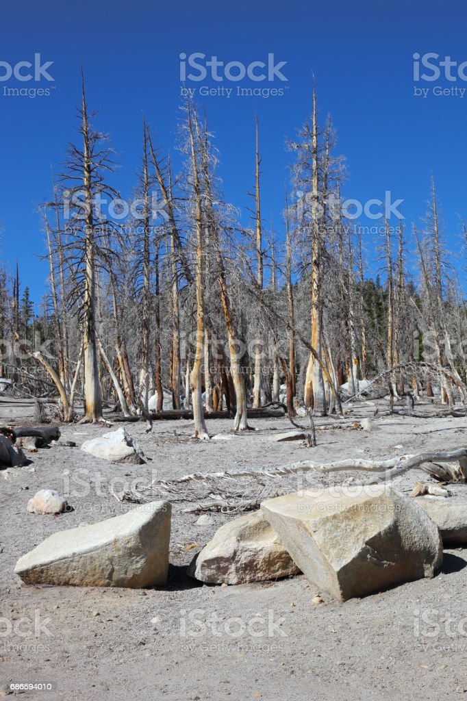 White stones and grey trunks royalty-free stock photo