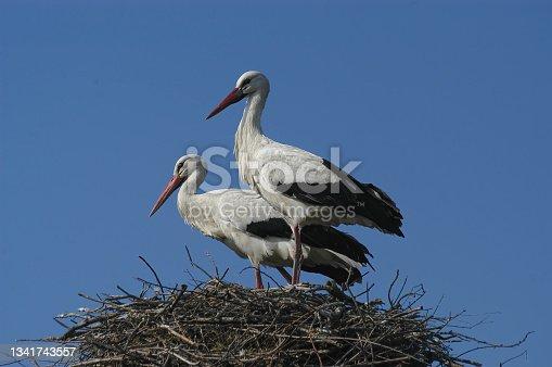 istock White Stork at nest (Ciconia ciconia) 1341743557