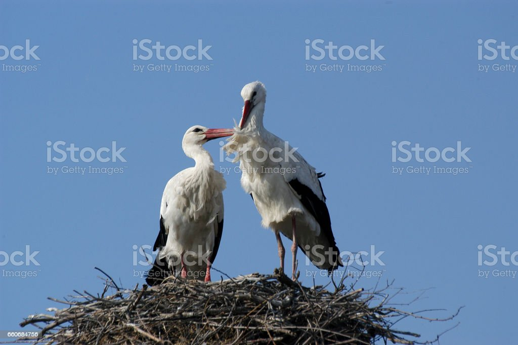 White stork at nest stock photo