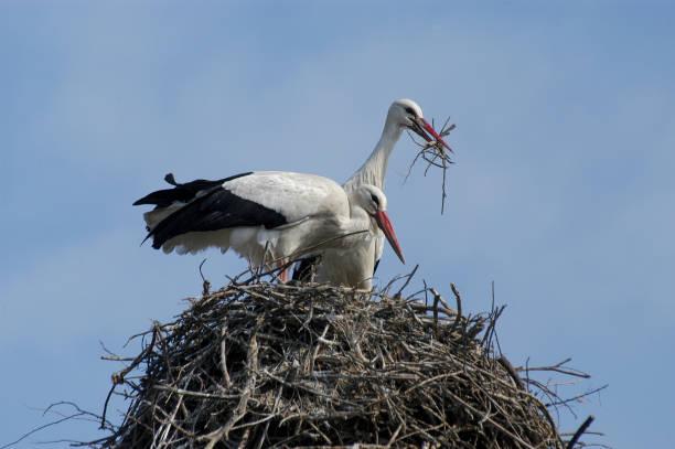white stork at nest (ciconia ciconia) - bocian zdjęcia i obrazy z banku zdjęć