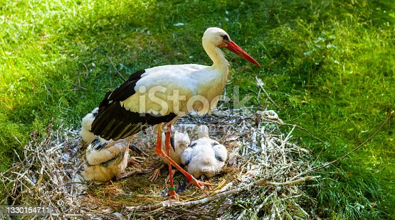 istock White stork bird with juvenile nestlings in nest in a zoological garden during spring nesting period 1330154711