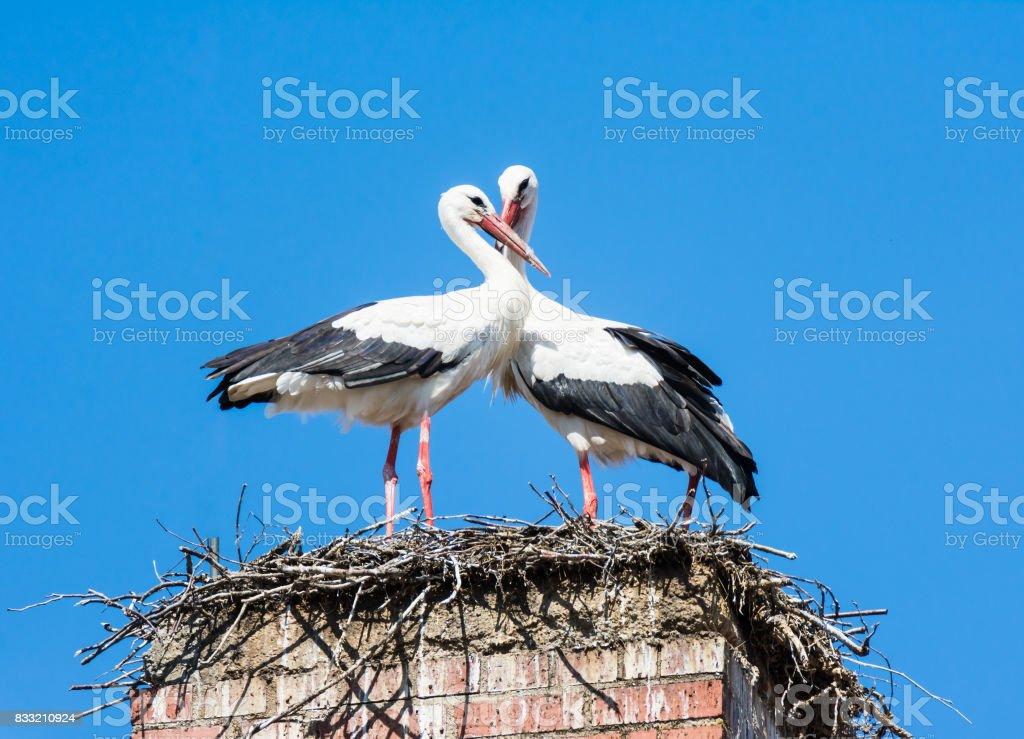 White stork couple in their nest on a chimney - Zbiór zdjęć royalty-free (Biały)
