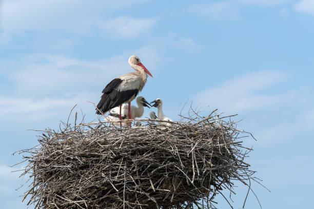 white stork in the nest - bocian zdjęcia i obrazy z banku zdjęć