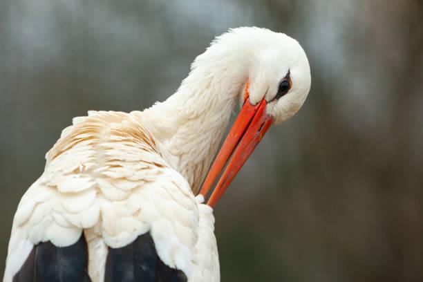 white stork - bocian zdjęcia i obrazy z banku zdjęć