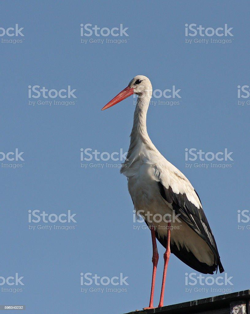 White stork royalty-free stock photo