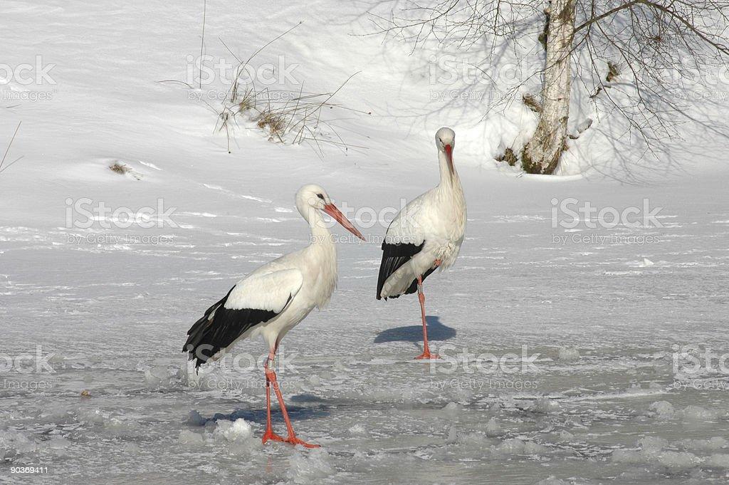 Weißstorch – Foto