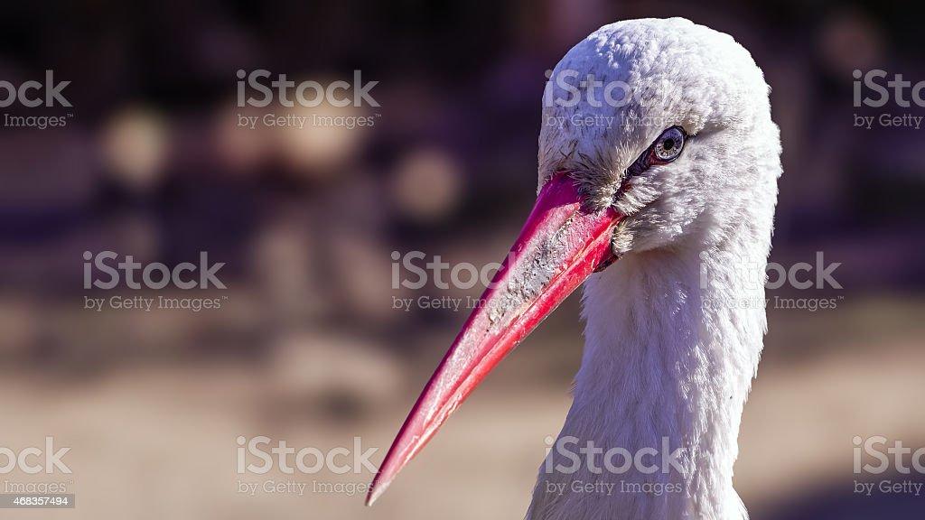 white stork (Ciconia ciconia) portrait royalty-free stock photo
