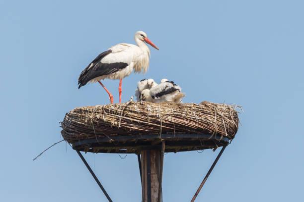 white stork sitting on a nest - bocian zdjęcia i obrazy z banku zdjęć