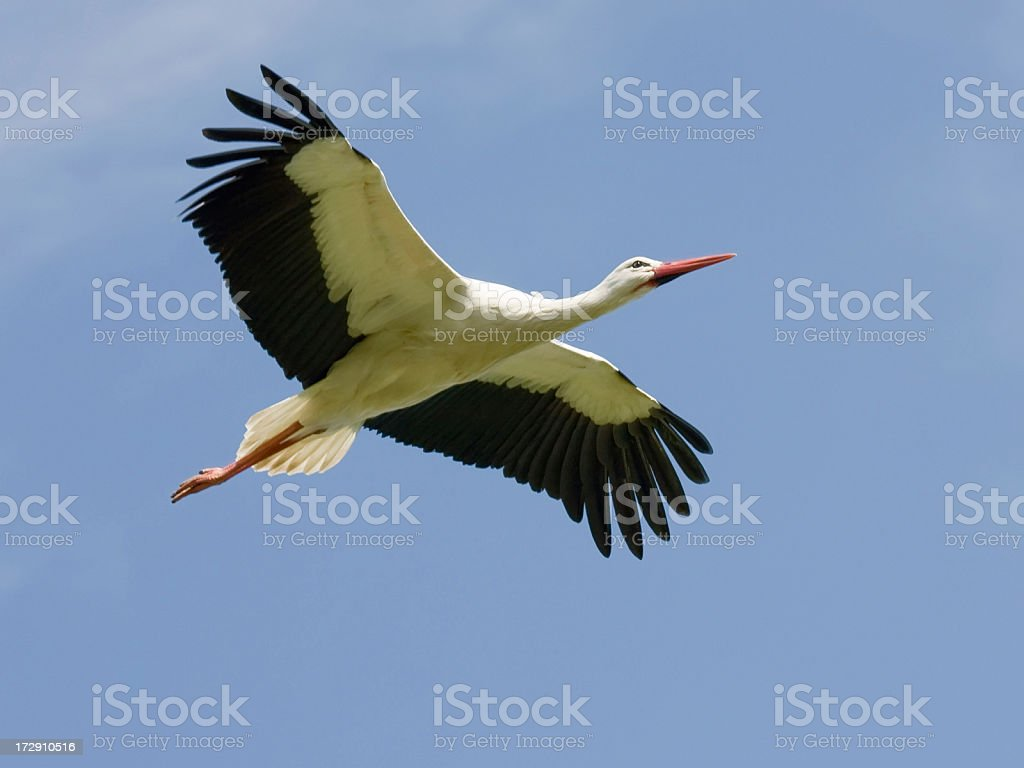White Stork Soaring - Close-up, with copy space stock photo