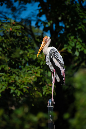 White stork is a large bird in the stork family called 'Ciconiidae' that have long legged, long-necked wading birds with long, stout bills and it's commonly found at the wetlands in Southeast Asian Countries.