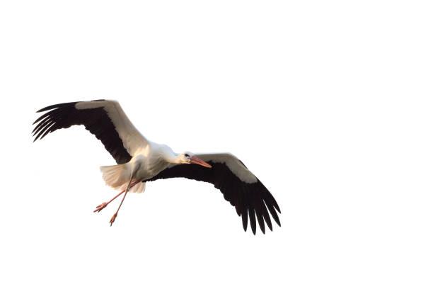 white stork (ciconia ciconia) with large wings flying isolated on white background - bocian zdjęcia i obrazy z banku zdjęć