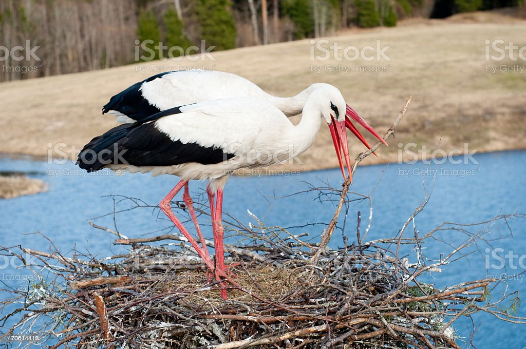 White storks building a nest stock photo