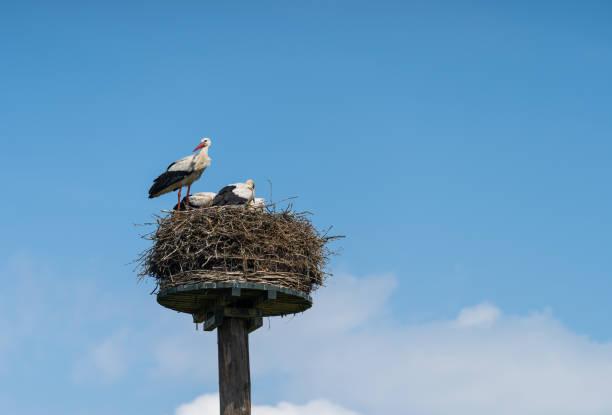 White storks stock photo