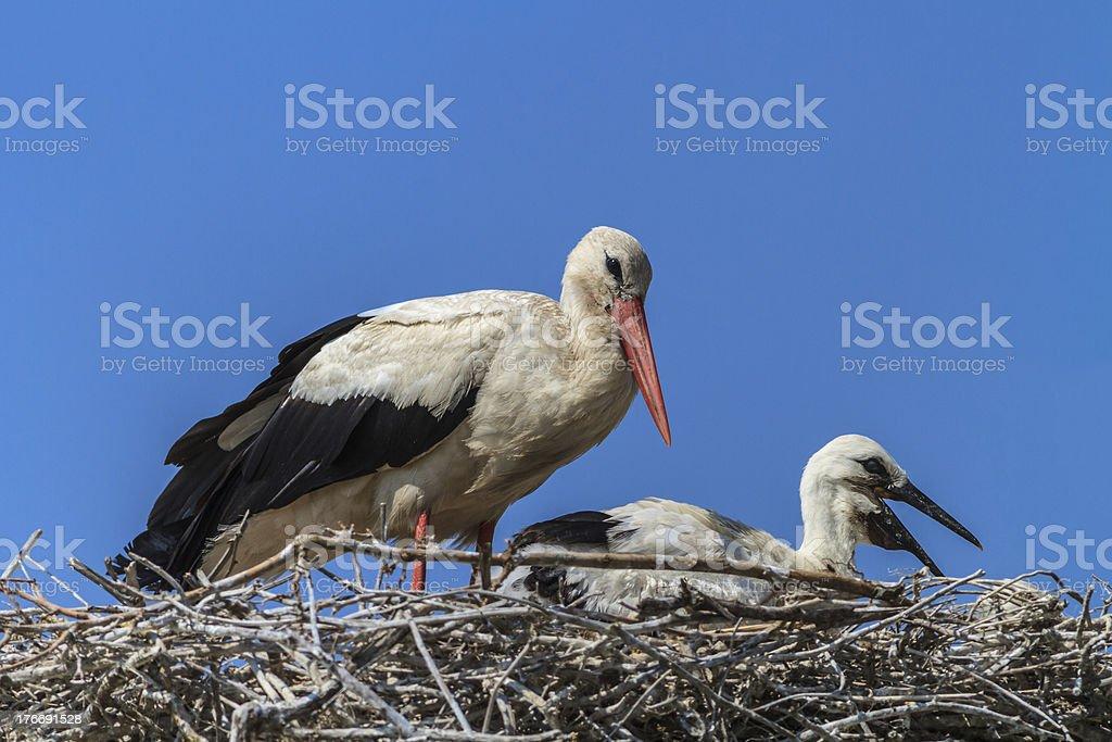 white storks royalty-free stock photo