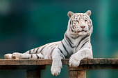 White tiger with black stripes laying down on wooden deck. Full size portrait. Close view with green blurred background. Wild animals in zoo, big cat