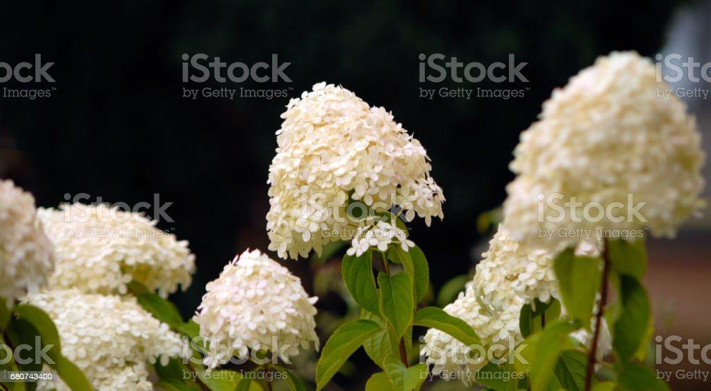 White summer hydrangea blossom flower fresh green black stock photo