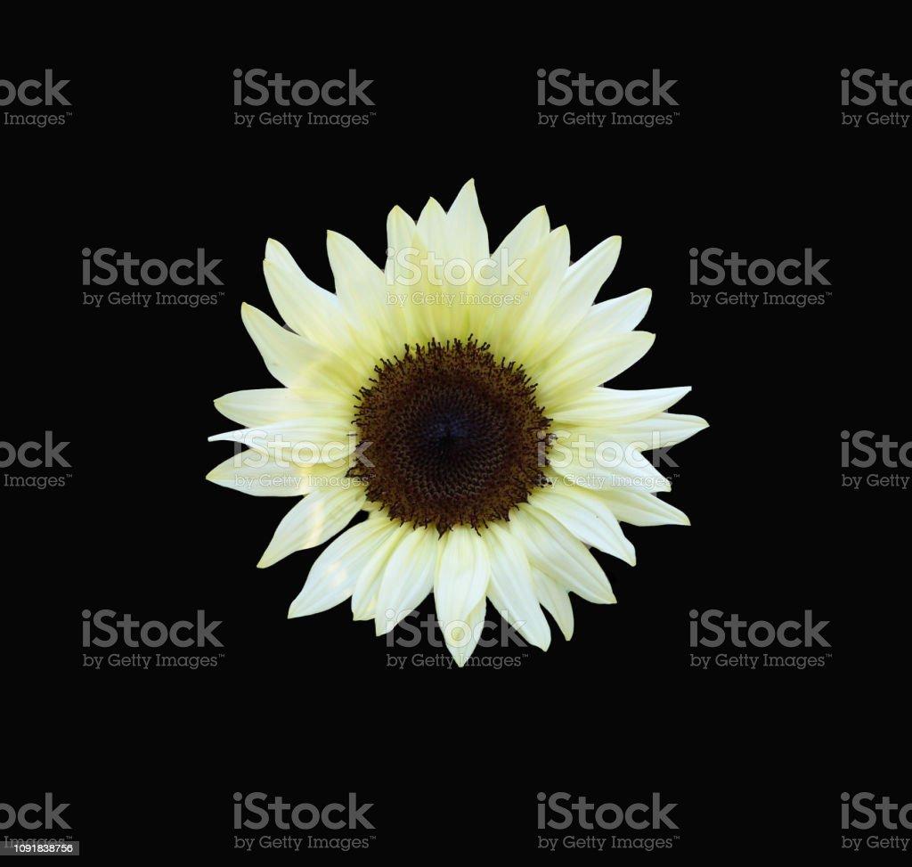 White sunflower centered on a black background stock photo