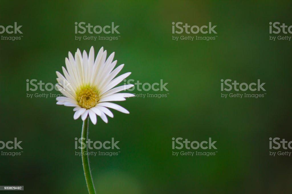 White sunflower stock photo