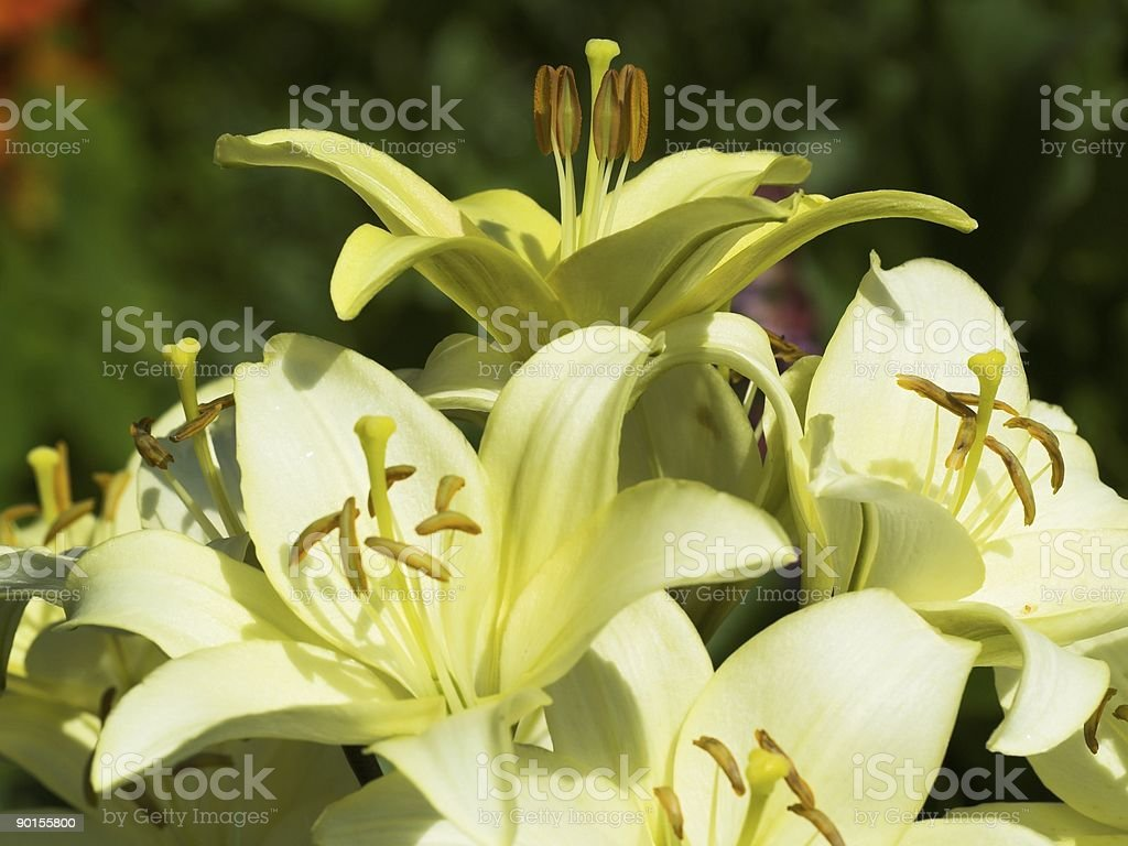 White sunny lily royalty-free stock photo