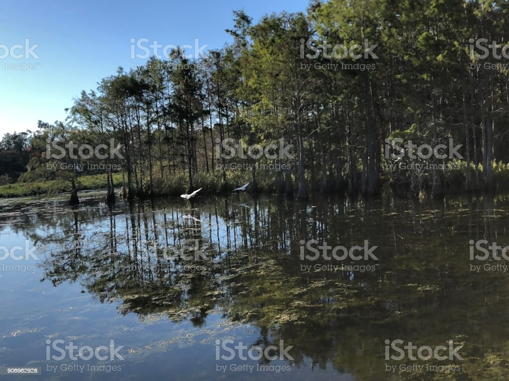 white swamp birds stock photo