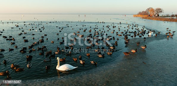 istock White swan and mallards in open water of frozen lake 1328515037